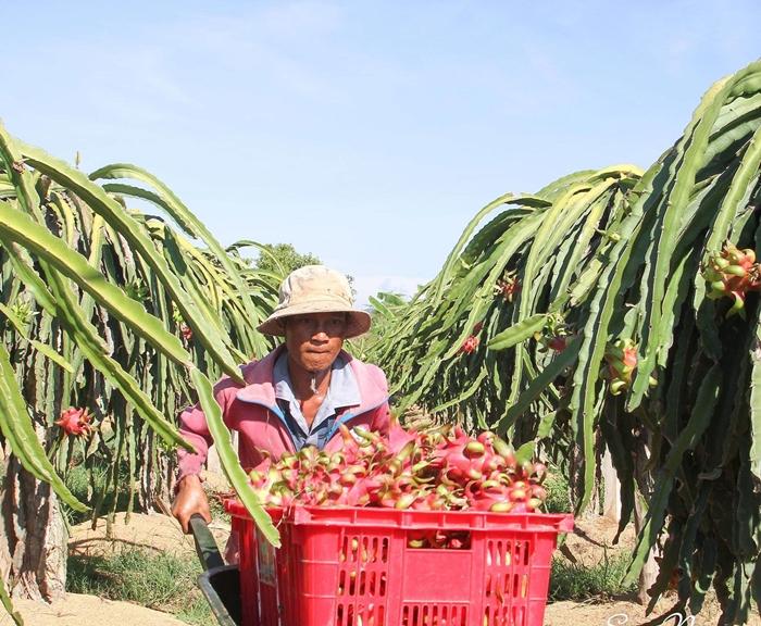Bình Thuận: Giá Thanh Long tăng cao nhất trong 5 năm, nông dân phấn khởi