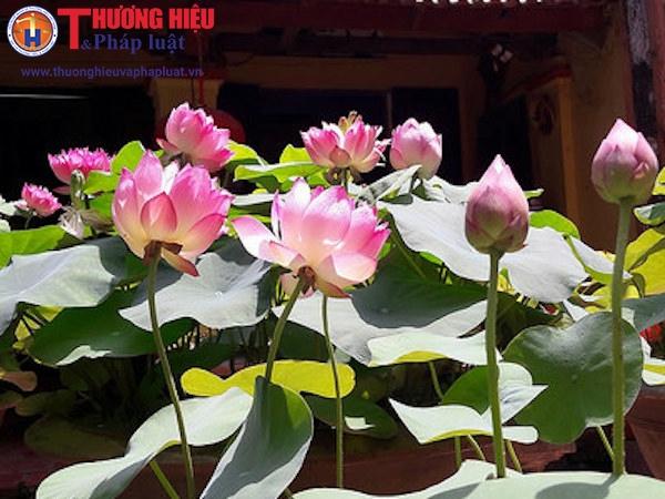 Độc đáo vườn sen Cung Đình ở ngoại ô Hà Nội