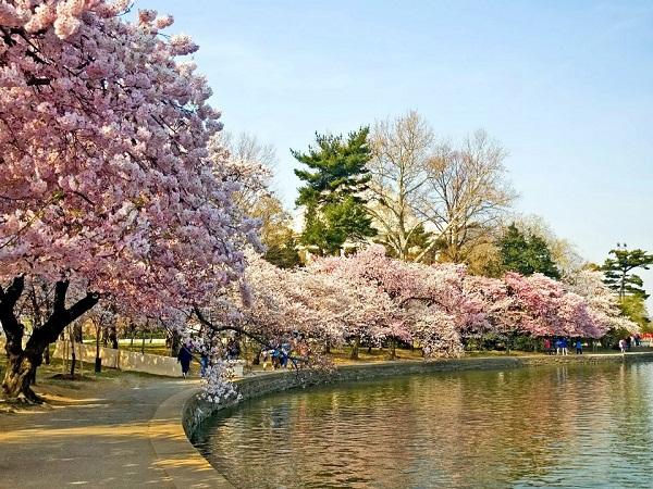 Nhật Bản: Tháng 4 - mùa hoa anh đào đang bung nở đẹp nhất trong năm