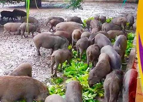 Dịch vụ 'nuôi lợn rừng online' ăn Tết: Đặt trước nửa năm, thăm nuôi từng giờ
