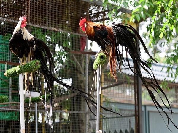 Độc đáo cặp gà Nhật Bản đuôi dài giá 65 triệu đồng chơi Tết