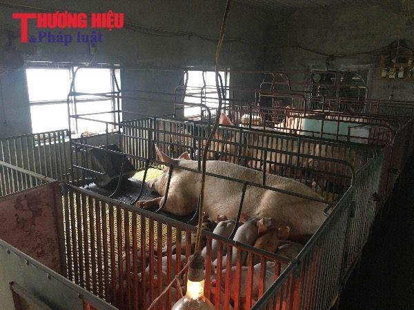 Đông Hưng, Thái Bình: Giá thu mua lợn thịt giảm mạnh, người nuôi lỗ nặng